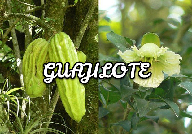 Guajilote