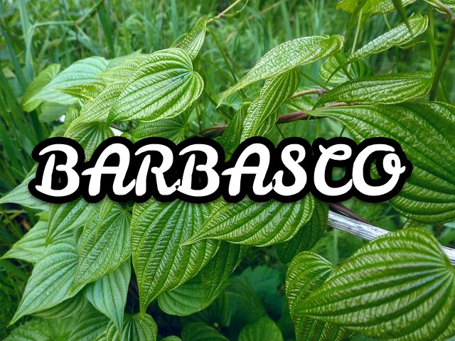 Barbasco