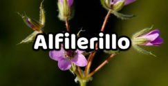 alfilerillo