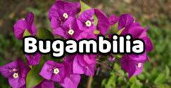 Bugambilia Propiedades y beneficios