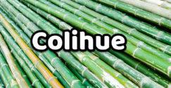 Colihue