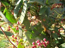Usos del Arbusto Zarzaparrilla