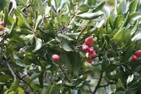 Beneficios del árbol Peumo