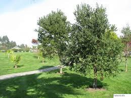 Usos del Árbol Peumo
