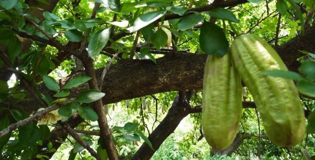 Cuajiote