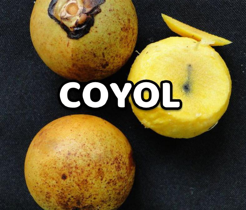 Coyol